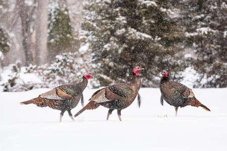 Wild turkeys walk thru snow in Fargo, North Dakota, USA