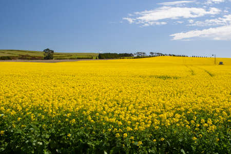 Canola fields shine on a clear sunny day near Creswick in the Victorian goldfields, Australia photo