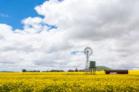 Canola fields shine on a stormy day inbetween Smeaton and Clunes in the Victorian goldfields, Australia photo