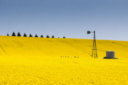 Canola fields shine on a clear sunny day near Creswick in the Victorian goldfields, Australia