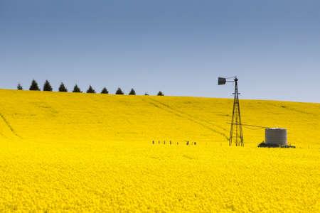 Canolagebieden schijnen op een heldere zonnige dag in de buurt Creswick in de Victoriaanse goudvelden, Australië Stockfoto