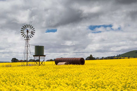 ballarat: Canola fields shine on a stormy day inbetween Smeaton and Clunes in the Victorian goldfields, Australia Stock Photo
