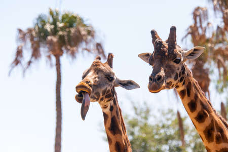 A pair of giraffes play on a hot summers day photo