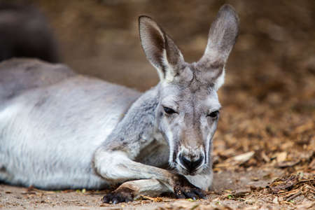 A kangaroo rests in the middle of the midday sun in Victoria, Australia Stock Photo