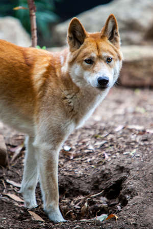 observes: A dingo observes its surroundings in Victoria, Australia