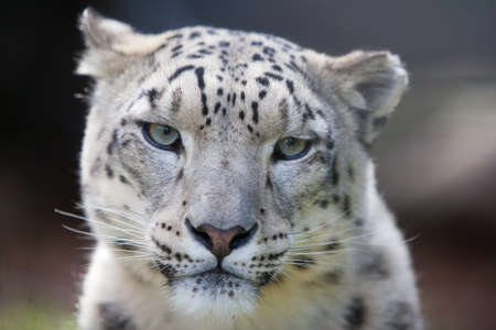 snow leopard: A snow leaopard watches its surroundings carefully