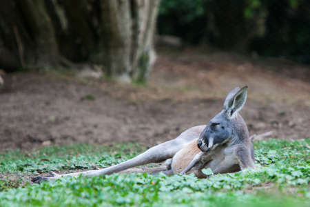 A kangaroo rests in the wild in Victoria, Australia