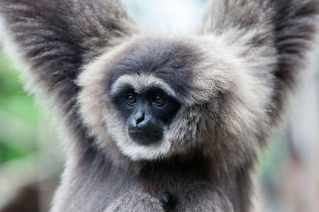 the silvery: A Silvery Gibbon
