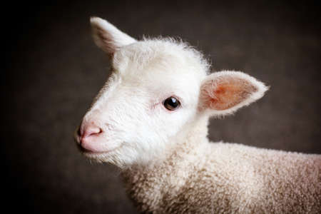 agriculture: Baby Lamb Face