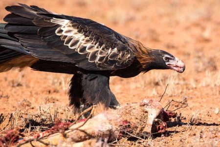 feeds: An Australian Wedge-tail Eagle feeds on a dead Kangaroo near Uluru in Northern Territory, Australia Stock Photo