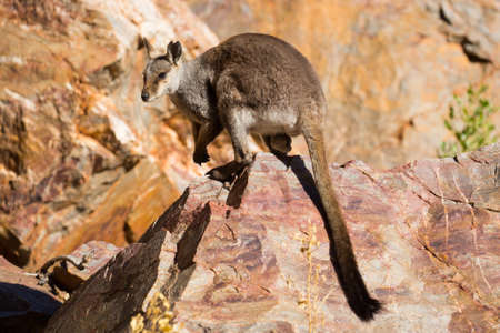 sighting: A rare sighting of a rock wallaby amongst rocks in a cliff face at Ormiston Gorge in Northern Territory, Australia