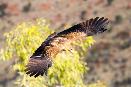 wedgetailed: A native wedge tailed eagle in flight near Alice Springs, Northern Territory, Australia Stock Photo