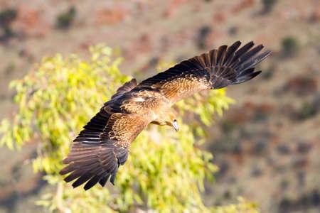 aigle: Un coin pygargue à queue natif en vol près d'Alice Springs, Territoire du Nord, Australie