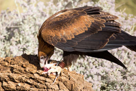 A native wedge tailed eagle devours a mouse near Alice Springs, Northern Territory, Australia