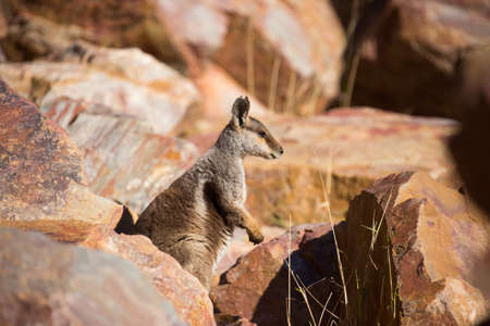 cliff face: A rare sighting of a rock wallaby amongst rocks in a cliff face at Ormiston Gorge in Northern Territory, Australia