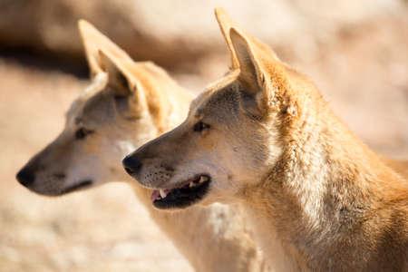 Wilde dingoes dichtbij Alice Springs, Noordelijk Grondgebied, Australië Stockfoto