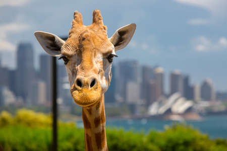 zoo: Giraffes at Taronga zoo overlook Sydney harbour and skyline on a clear summers day in Sydney, Australia Stock Photo