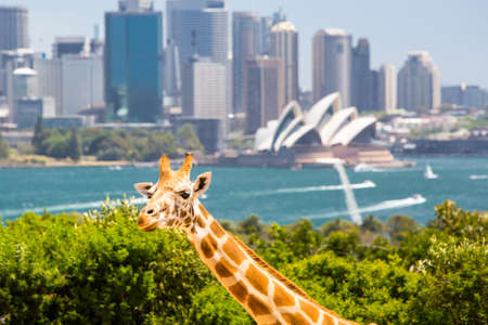 Giraffes at Taronga zoo overlook Sydney harbour and skyline on a clear summer's day in Sydney, Australia