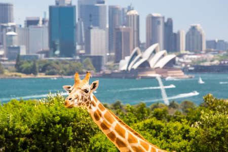 animales del zoologico: Jirafas en el zool�gico de Taronga vistas del puerto de Sydney y el horizonte en un d�a de verano claro en Sydney, Australia