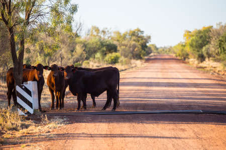 cattle grid: A group of cows graze by the side of the Plenty Hwy near Mount Riddock cattle station in Northern Territory, Australia