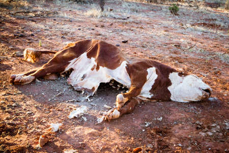 dry cow: A cow succumbs to the Australian Outback heat near Gemtree in the Northern Territory, Australia