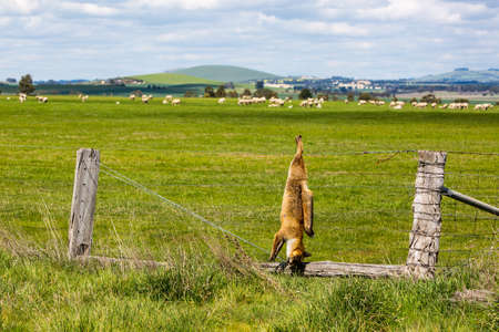 cull: A fox shot and hung serves as a warning to other animals in Victoria, Australia
