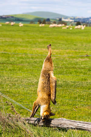 sheep warning: A fox shot and hung serves as a warning to other animals in Victoria, Australia