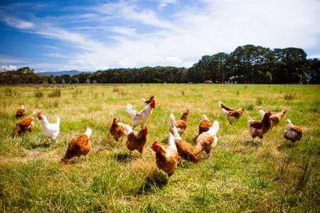 bandada pajaros: Pollos En Un Campo