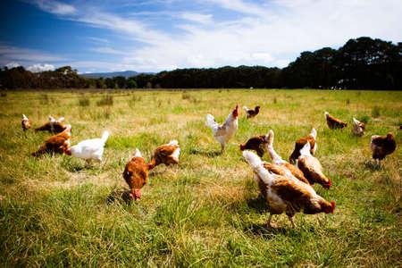 Hühner in einem Feld Standard-Bild - 51502713