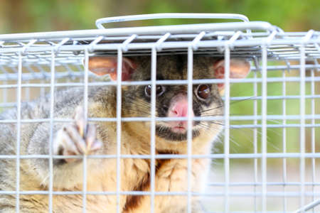 possum: A brushtail possum is caught in a cage as a trap in Melbourne, Victoria, Australia Stock Photo
