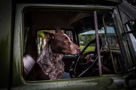 qld: An Australian Kelpie dog spotted in the drivers seat of an old classic car in Kuranda, Queensland, Australia Stock Photo