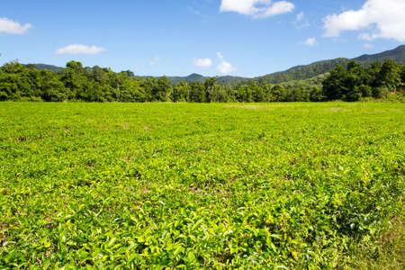 cropland: Fields of tea leaves in the Daintree region of Queensland, Australia