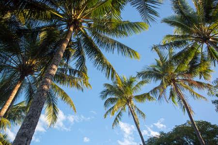 cove: Tropical palm trees in Palm Cove, Queensland, Australia