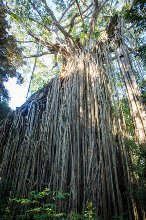 The famous Curtain Fig Tree near Yungabarra in the Atherton Tablelands, Queensland, Australia