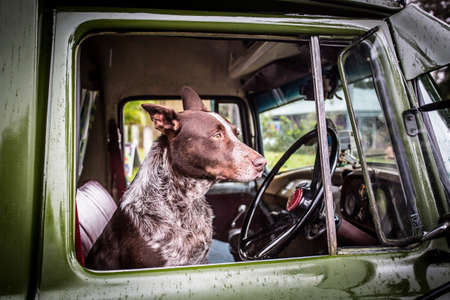 drivers seat: An Australian Kelpie dog spotted in the drivers seat of an old classic car in Kuranda, Queensland, Australia Stock Photo