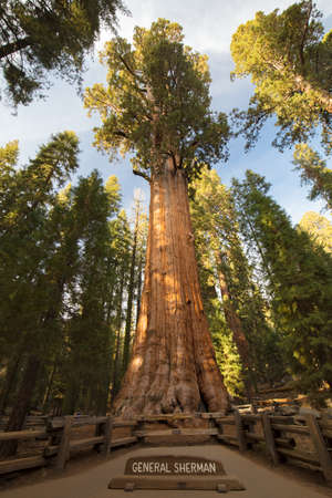 The famous Giant Forest in Sequoia National Park containing the worlds largest tree, the General Sherman redwood tree.