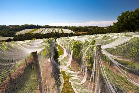 Mornington Peninsula Vines Stock Photo