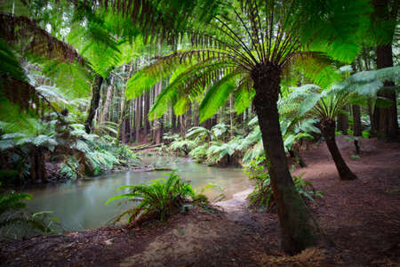 The tranquil Californian Redwood Forest in Cape Otway, Victoria, Australia Stock Photo