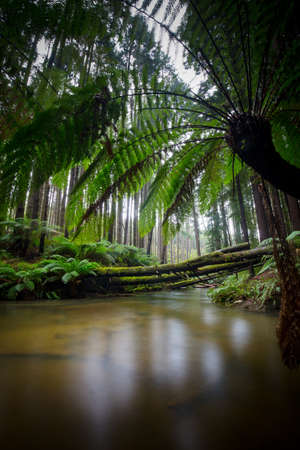 californian: The tranquil Californian Redwood Forest in Cape Otway, Victoria, Australia Stock Photo