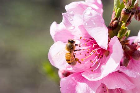 Australian Bee and Flower 免版税图像