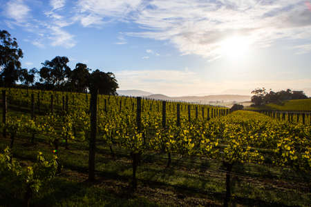 Yarra Valley Vineyard 스톡 콘텐츠