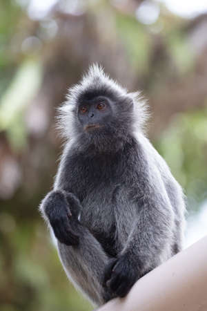Silver leaf monkey at Melawati Hill, Kuala Selangor, Malaysia Stock Photo