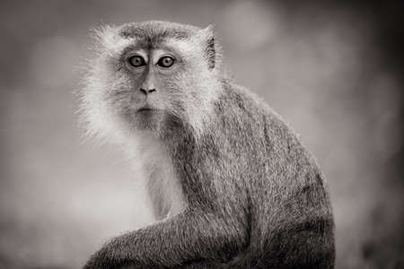 Silver leaf monkey at Melawati Hill, Kuala Selangor, Malaysia Stok Fotoğraf