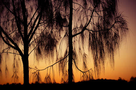 Weepinmg trees near Uluru at sunset in the Northern Territory, Australia Stock Photo
