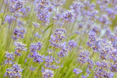 淡紫色的领域在澳大利亚