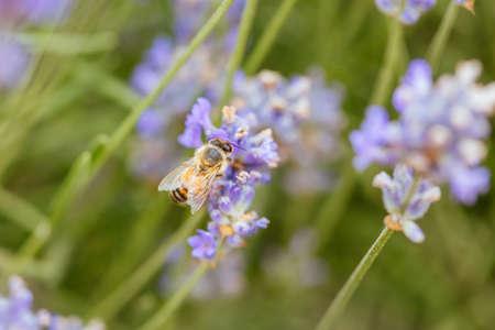 特写镜头射击了从淡紫色收集花粉的蜂在夏天的在维多利亚,澳大利亚
