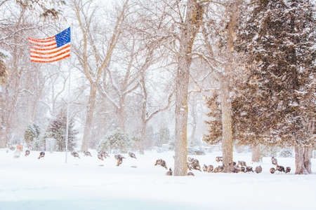Wild Turkeys In Snow USA