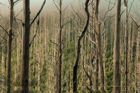 Bushfire Damaged Trees at Lake Mountain