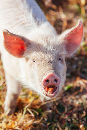 Piglets Roaming In Rural Australia Standard-Bild