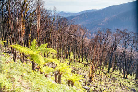 Lake Mountain after Black Saturday Fires in Australia Standard-Bild - 147821489